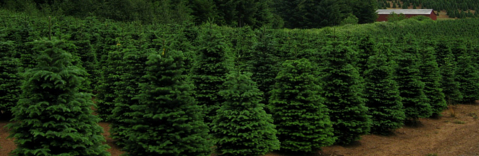 Christmas Tree Farms in and around Westchester County, NY | Kids Out and About Westchester